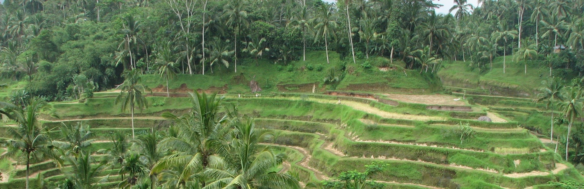 Rice_Terrace_in_Ubud (5)