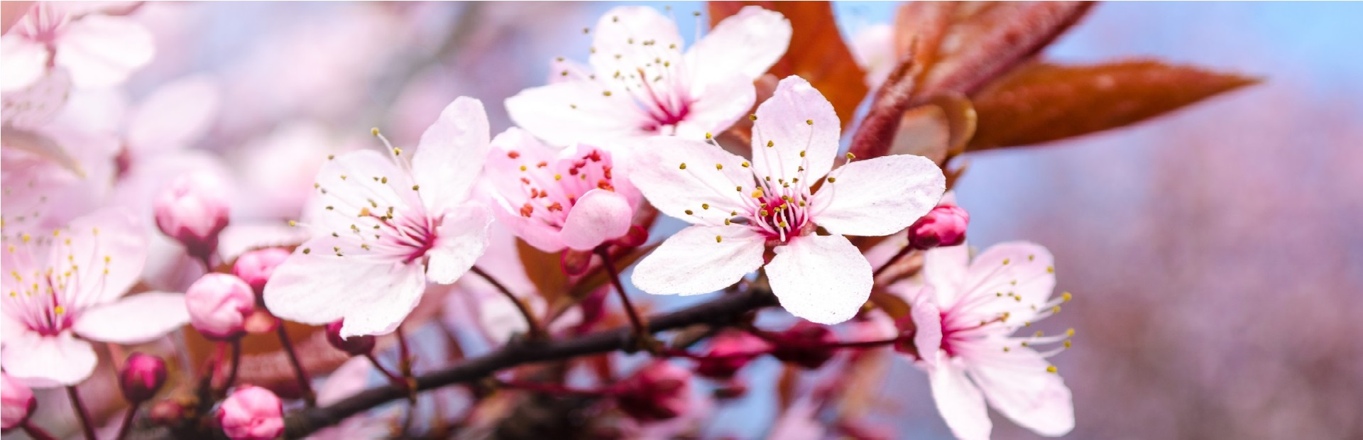 pink-blossom-flowers-on-a-branch