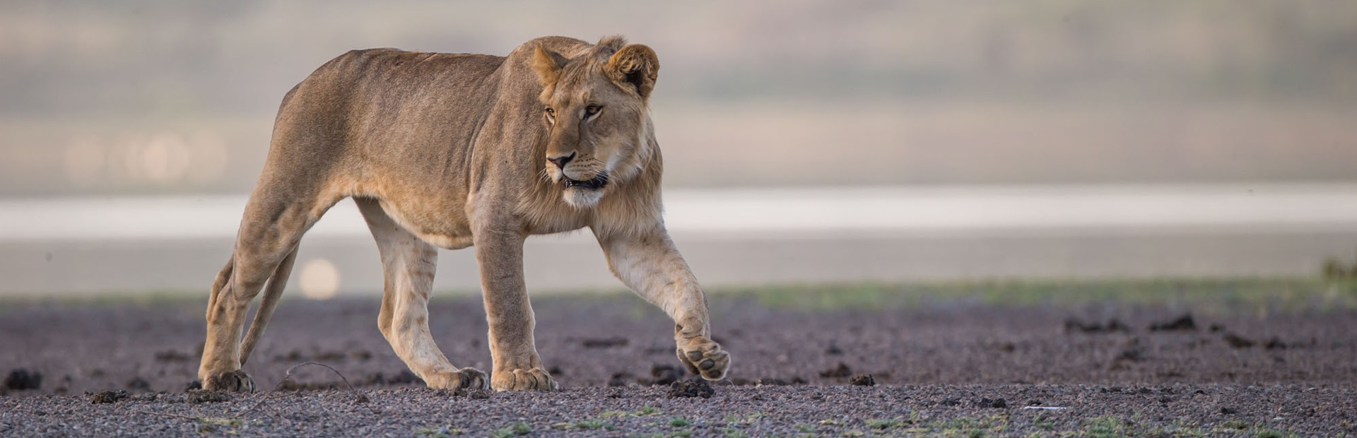 lion-in-Tanzania-on-a-andBeyond-safari.jpg