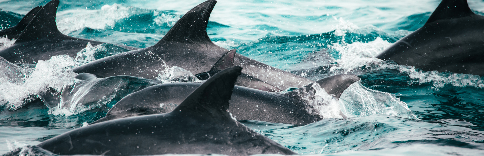 South Africa Dophins redcharlie-ybmLeNwgvAo-unsplash copy