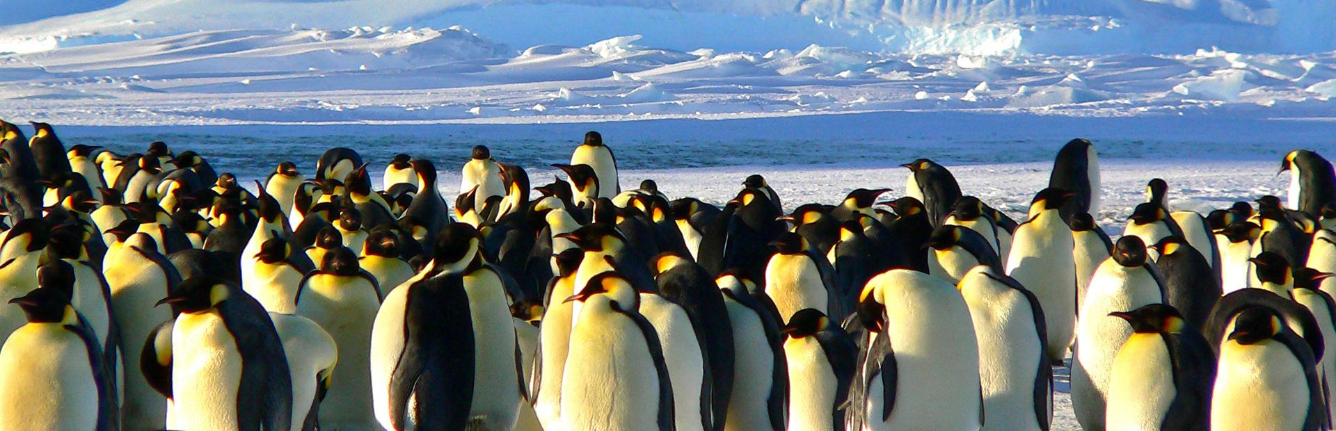 emperor-penguins-429127PX copy