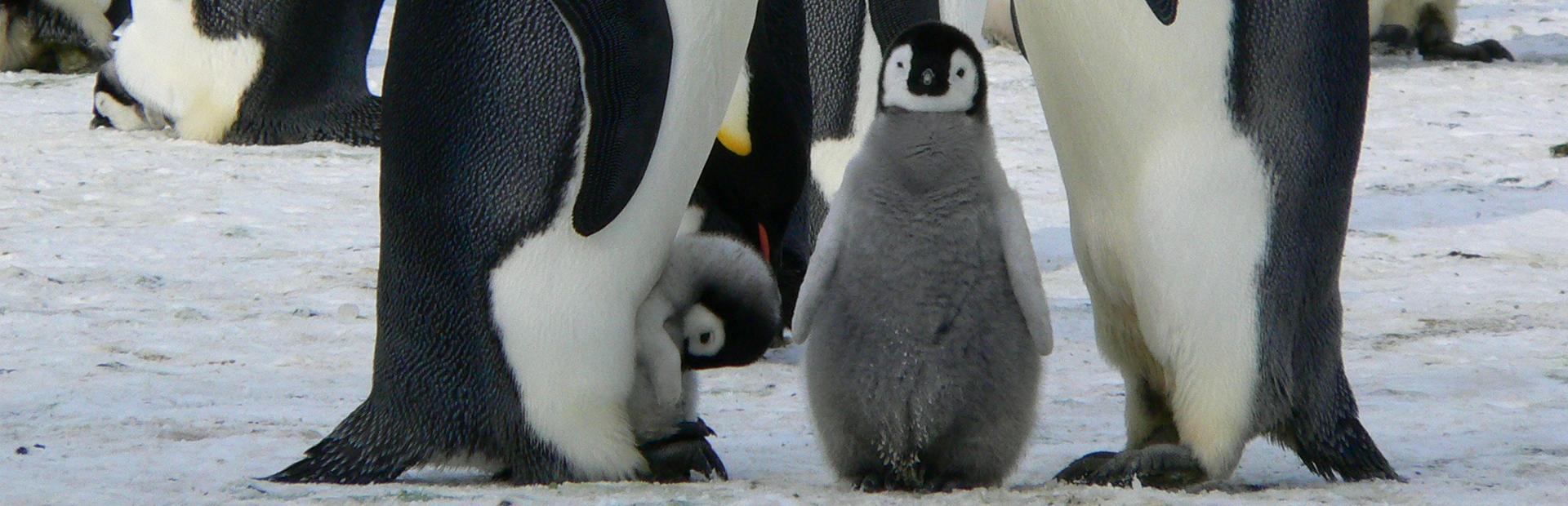 emperor-penguins-429128px copy